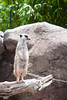 Time to Pause and Think (A.Monoang) Tags: zoo melbournezoo animals cuteanimal australia melbourne nature meerkat