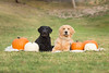 44/52 Nemo (- Una -) Tags: 52weeksfordogs nemo curly curlycoatedretriever ccr retriever curlydog dog animal blackdog blackcurlycoatedretriever golden grass goldenretriever