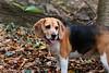 """C'mon guys, I'm waiting..."" (srkirad) Tags: beagle wood forest fruškagora trekking hiking exploring weekend serbia srbija mountain autumn fall tree leaves bokeh blur dof depthoffield"