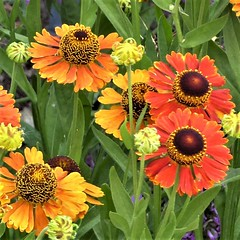 Wheaton, IL, Cantigny Park, Helenium Flowers (Mary Warren 9.9+ Million Views) Tags: wheatonil cantignypark nature flora blooms blossoms flowers plants red orange yellow buds helenium