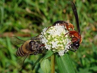 Sharing. Honey Bee and Pompilid Wasp on Borreria verticillata, Paramaribo, Suriname