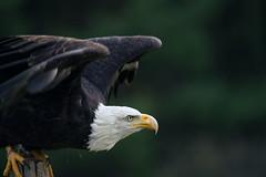 bald eagle (Wil James) Tags: sonyilca99m2 tamron tamron150600 bird raptor beak feathers ontario canada