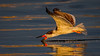 Skimmer at first light-14 (Eric Gofreed) Tags: california crownpoint sandiego skimmer