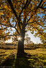 Tree in autumn colors (pDOTeter) Tags: ifttt 500px leaves tree blue sky translucent heather heath heide sunburst belgie low sun kessel autumn personen europe belgium nijlen peter photography luxem