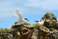 White Fronted Terns (bevanwalker) Tags: iceplant wings white feeding chick d750 nikon newzealand coromandel 80400mm