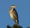 Heron (paulgreen12) Tags: heron largebirds treetop