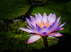 _TL71314_L_ (5816OL) Tags: waterlilies flowers zoo2017