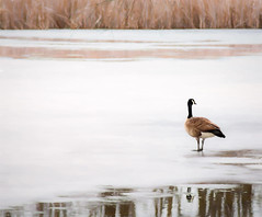 Canada Goose (hmthelords) Tags: pond painterly goose water solitary frozen