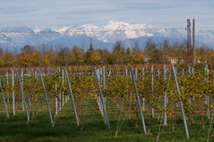 Linee con vista (s81c) Tags: campagna countryside montagne mountains vigneto vineyard alberi trees linee lines lineeelettriche electriclines coloricaldi warmcolors bianco white neve snow autunno fall autumn