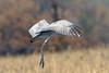 Sandhill Crane (Alan Gutsell) Tags: sandhill crane sandhillcrane newmexico alan wildlife nature bosque del apache bosquedelapache nationalpark