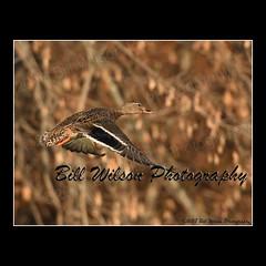 female mallard (wildlifephotonj) Tags: wildlifephotographynj naturephotographynj wildlifephotography wildlife nature naturephotography wildlifephotos naturephotos natureprints birds bird mallard mallards mallardduckfemale mallardfemale duck ducks