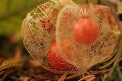 orange II (notpushkin) Tags: herbst autumn fall orange botanic