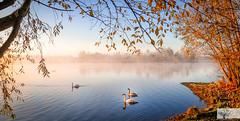 Dovecote Swans (Rob Felton) Tags: bedfordrivervalleypark willington bedford bedfordshire robertfelton felton sun sunrise sunup dawn firstlight dovecote autumn autumncolour autumnal rust fog swan trees cygnusolor