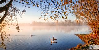 Dovecote Swans