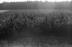 cornfield (rotabaga) Tags: sverige sweden småland torsås svartvitt blackandwhite bw bwfp
