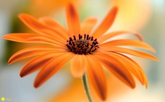 Orange passion (Trayc99) Tags: petals flower floralart flowerphotography floralphotography floral beautiful beautyinnature beautyinmacro orange delicate depthoffield decorative daisy
