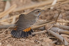 Bluethroat (Dave 5533) Tags: bluethroat wild naturephotography birdsinisrael birdphotography bird outdoor canoneos1dx ef300mmf28lisiiusm animal canonextender2xiii songbird songbirds ngc npc