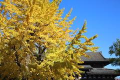 Autumn in Kyoto (Teruhide Tomori) Tags: japan japon kyoto toji temple architecture construction garden autumn yellow ginkgo 京都 日本 秋 イチョウ 寺院 教王護国寺