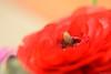 ラナンキュラス / Ranunculus (March Hare1145) Tags: ranunculus ラナンキュラス 花 flower plant 植物 日本 japan