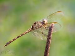 Band-winged Dragonlet (Erythrodiplax umbrata) (veltrahez) Tags: miami florida unitedstates us ngc omd em1 zuiko 60mm life nature dragonfly