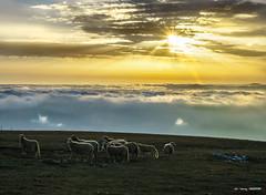 La luz... (Jabi Artaraz) Tags: jabiartaraz nature contraluz sheep ovejas amanecer sunset sunrise sun sol light