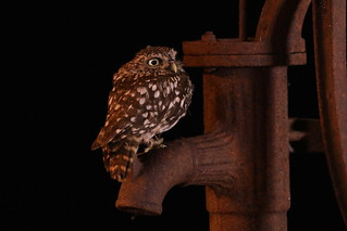 Little Owl and Water Pump (E-4A7A-9380)