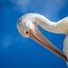 Pelican Scratching-2
