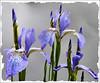 Iris Sibirica. (Country Girl 76) Tags: iris sibirica mauve garden plant summer buds