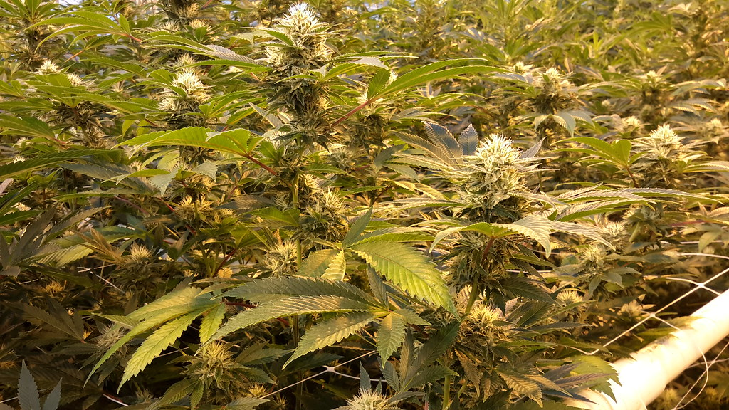 a research of marijuana horticulture Our cannabis cultivation methods, guided by research from the latest peer- reviewed scientific journals and our team's extensive cultivation experience,  simulate.