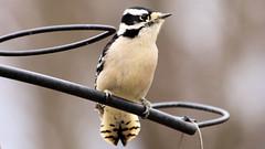 IMG_8639e (blazer8696) Tags: 2017 brookfield ct connecticut ecw obtusehill t2017 table usa unitedstates downy downywoodpecker dowo img8639 picidae piciformes picoides picoidespubescens picpub pubescens woodpecker