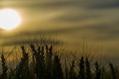 Remembering the Summer (Elowi) Tags: sun sonne weather wetter natur nature corn cornfield kornfeld korn clouds wolken kontrast contrast sharpness schärfe light licht struktur structure sony sonyalpha alpha6000 alpha selp18105g