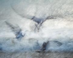 Take off (Sue MacCallum-Stewart) Tags: herringgulls gulls birds icm abstract coast sea brighton sussex
