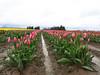 A rainy day in the tulip fields (Nikki Cleveland) Tags: flower flowers garden sky daffodil festival daffodils skagitvalley washington wa washingtonstate northwest tulipfestival