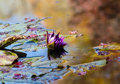 Aquarelle (Irina1010) Tags: pond water reflections aquarelle autumn colors waterlily lilypads colorful beautiful nature gibbsgardens coth5