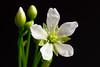 Venus flytrap blossom ~ 327/365 2017 (joriks) Tags: 2017 365 flowers nature dionaea muscipula plantae droseraceae carnivorous flower pretty beautiful white blossom gorgeous cute dangerous flash 100mm 100mmstf sony alpha a7r2 70200mm macro