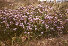 Phacelia crenulata (Anita363) Tags: phaceliacrenulata phacelia boraginaceae crenulatedphacelia purple desert wildflower flower flora native longcluster mohavedesert mojavedesert mohave mojave april film scanned