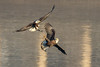 Trying to Steal That Fish (drbradkent) Tags: eagles birds fish fight conowingo dam maryland susquehanna river