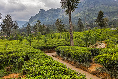 Rothschild Tea Estate, Sri Lanka (bfryxell) Tags: pussellawa rothschildteaestate srilanka teaplant teaplantation