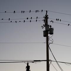 Flock (Hub☺) Tags: 2012 animal bird britishcolumbia canada electricity pole vancouver ca