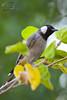 Eastern Kingbird (Adeel Javed's Photography) Tags: eastern kingbird birds adeel javed riyadh saudiarabia