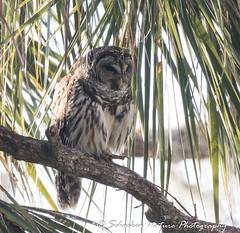 Barred Owl (Mark Schocken) Tags: strixvaria barredowl circlebbarreserve lakelandfl markschocken