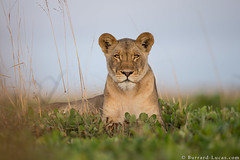 Lioness (Burrard-Lucas Wildlife Photography) Tags: