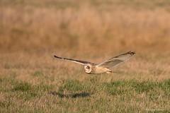 En chasse au crépuscule ... (Cathie Clemot) Tags: hiboudesmarais asioflammeus shortearedowl strigiformes strigidés vendée