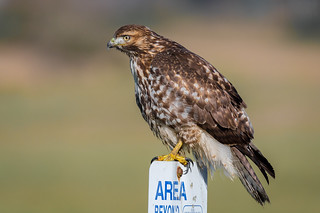 Red-tailed Hawk Juvenile  (Buteo jamaicensis)
