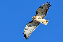 Red-tailed Hawk on Cruise Control (NaturalLight) Tags: redtailed hawk inflight soaring chisholmcreekpark wichita kansas