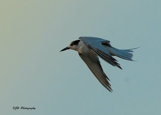 Common Tern 1st in Sindh