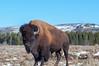 Road hog (ChicagoBob46) Tags: bisonbull bull yellowstone yellowstonenationalpark nature wildlife coth5 ngc npc