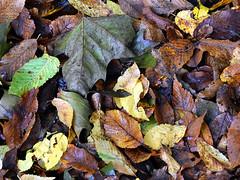 Autum nature (robárt shake) Tags: autum nature herbst plant pflanzen leafs baumblätter herbstblätter laub herbstlich ökologisch ökologie weltlich kreislauf wheel bunt durcheinander ordnung collection baum wald kompostieren