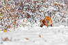 Red Fox (wn_j) Tags: wildlife wildanimals wildlifephotography canon canon1dxii canon400mm nature naturephotography nationalwildliferefuge heinzwildlife heinz heinznwr johnheinz johnheinznwr redfox fox winter winterwildlife