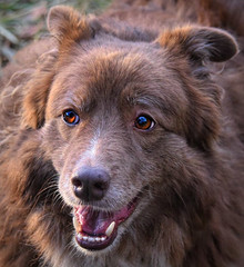 Oh Those Amber Eyes! (Feeling Better...Still Slow To Comment!) Tags: ddc 2222 eyesonyou shizandra female dog canine bordercolliemix inthebackyard